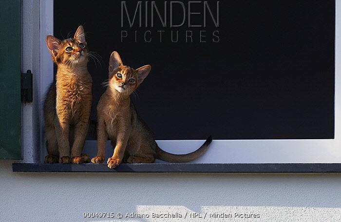 Domestic Cat (Felis catus) two Somali cats sitting on window ledge, Italy  -  Adriano Bacchella/ npl