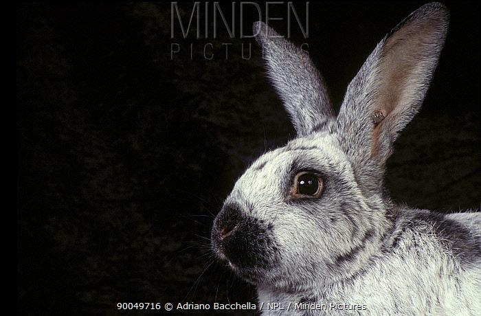 Silver of Champagne domestic rabbit  -  Adriano Bacchella/ npl
