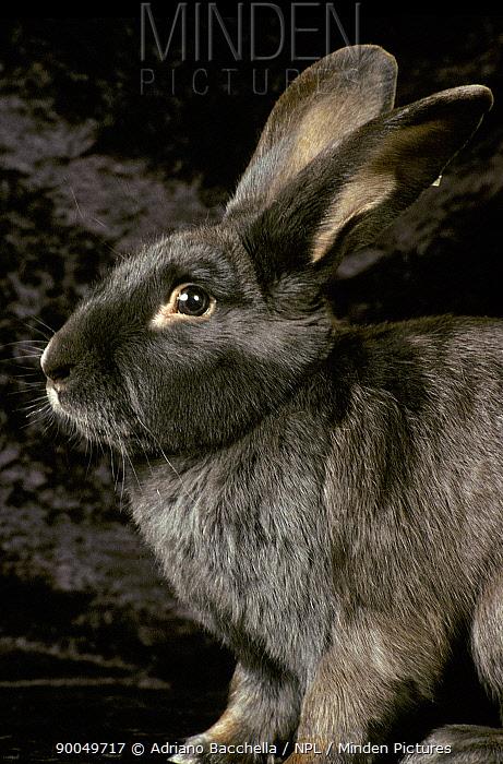 Viennese blue Domestic rabbit  -  Adriano Bacchella/ npl
