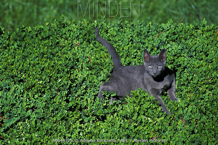 Domestic Cat (Felis catus)Russian blue cat lying on plants in a garden, Italy  -  Adriano Bacchella/ npl