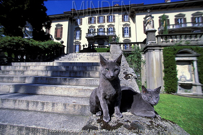 Domestic Cat (Felis catus) two Russian blue cats sunning on garden stone steps, Italy  -  Adriano Bacchella/ npl