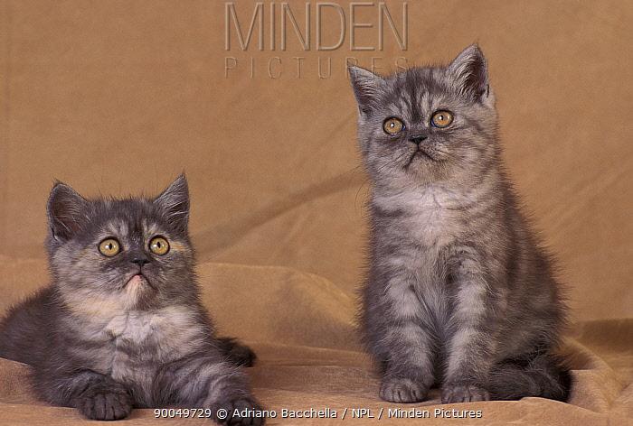 Domestic Cat (Felis catus) two American shorthair kittens  -  Adriano Bacchella/ npl