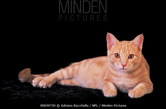 Domestic Cat (Felis catus)European red tabby cat, lying down  -  Adriano Bacchella/ npl