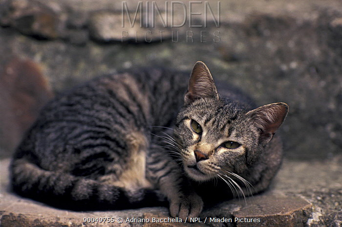 Domestic Cat (Felis catus)Tabby cat resting on wall  -  Adriano Bacchella/ npl