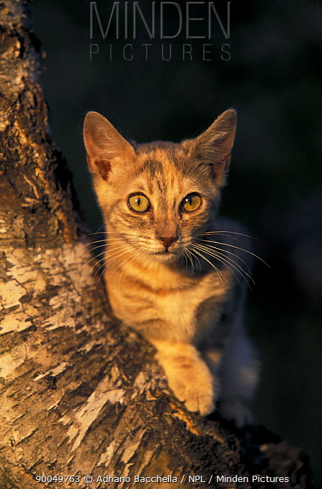 Domestic Cat (Felis catus)EUROPEO BLOTCHED MARRONE  -  Adriano Bacchella/ npl