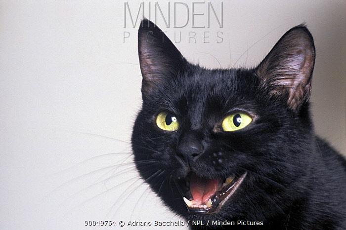 Domestic Cat (Felis catus)Black cat vocalising  -  Adriano Bacchella/ npl