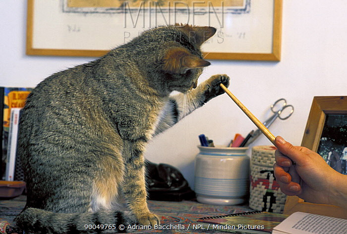 Domestic Cat (Felis catus) sitting on desk, playing with pencil, Italy  -  Adriano Bacchella/ npl