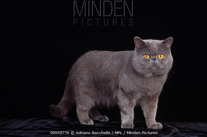 Domestic Cat (Felis catus)Exotic grey cat, portrait  -  Adriano Bacchella/ npl