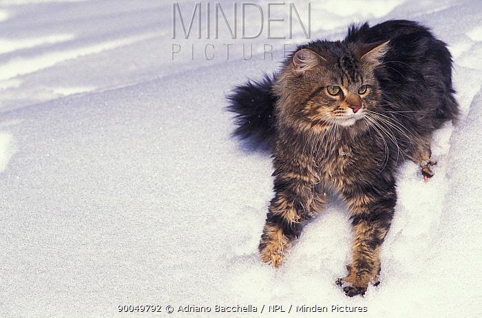 Domestic Cat (Felis catus)Maine coon cat, in snow  -  Adriano Bacchella/ npl