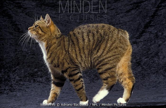 Domestic Cat (Felis catus)Manx cat, portrait  -  Adriano Bacchella/ npl