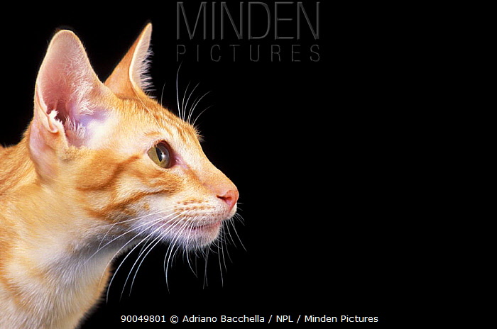 Domestic Cat (Felis catus)Oriental cat head profile  -  Adriano Bacchella/ npl