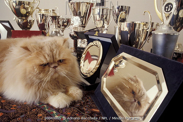 Domestic Cat (Felis catus)Persian cream cat surounded by trophies  -  Adriano Bacchella/ npl
