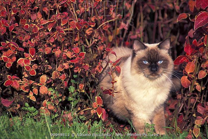 Domestic Cat (Felis catus)Ragdoll cat in garden, Italy  -  Adriano Bacchella/ npl