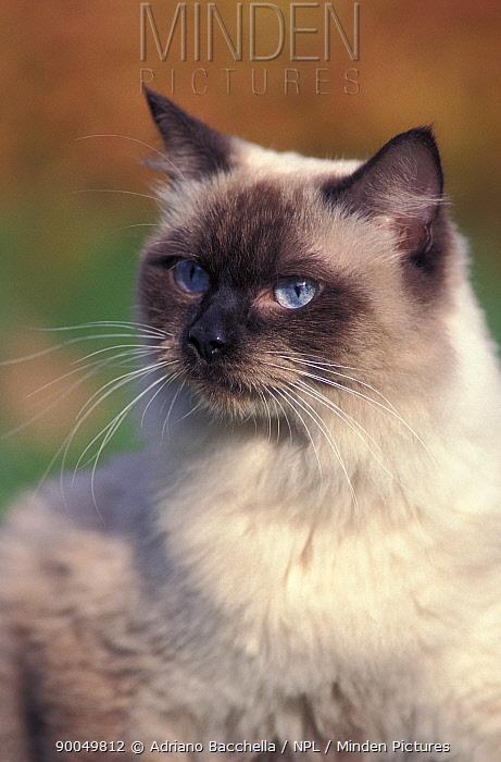 Domestic Cat (Felis catus)Ragdoll cat, head portrait  -  Adriano Bacchella/ npl