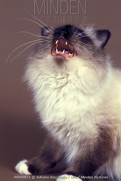 Domestic Cat (Felis catus)Birman cat vocalising  -  Adriano Bacchella/ npl