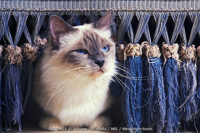 Domestic Cat (Felis catus)Birman cat amongst tassles under furniture  -  Adriano Bacchella/ npl