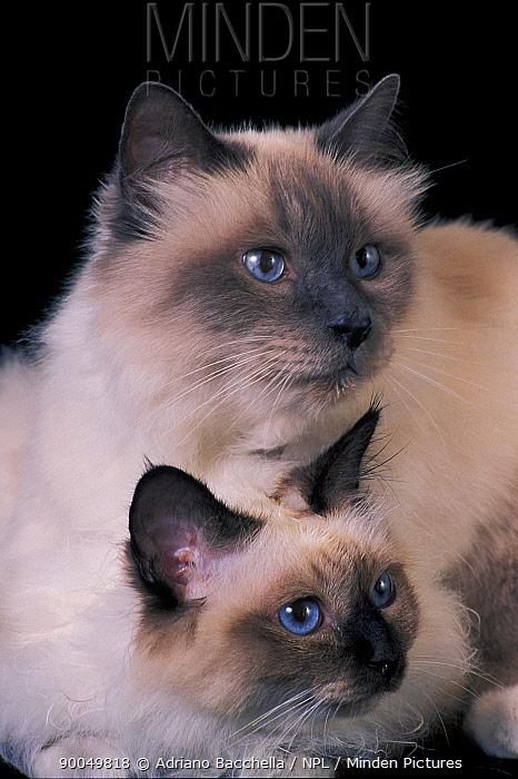 Domestic Cat (Felis catus) two Birman cats, showing deep blue eyes  -  Adriano Bacchella/ npl
