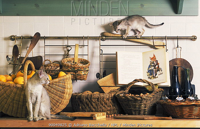 Domestic Cat (Felis catus) two Singapura cats playing amongst baskets in kitchen, Italy  -  Adriano Bacchella/ npl