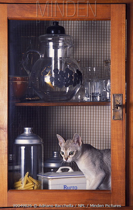 Domestic Cat (Felis catus)Singapura cat playing in kitchen cupboard, Italy  -  Adriano Bacchella/ npl