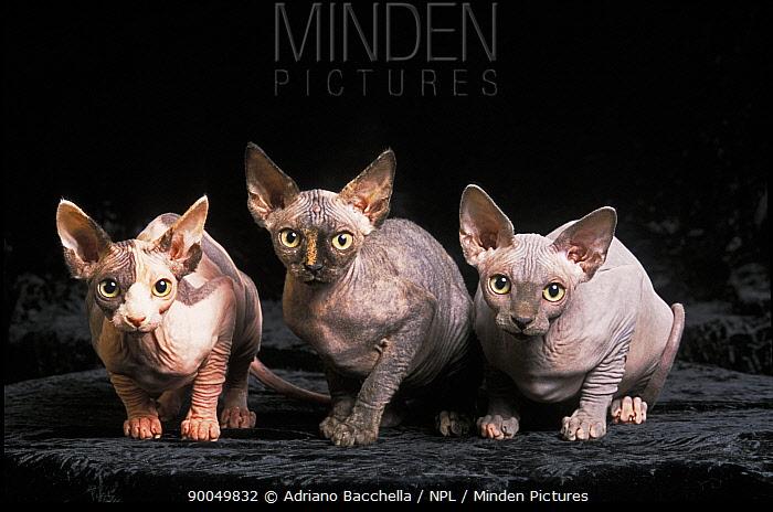 Domestic Cat (Felis catus)Three hairless, Sphinx cats  -  Adriano Bacchella/ npl