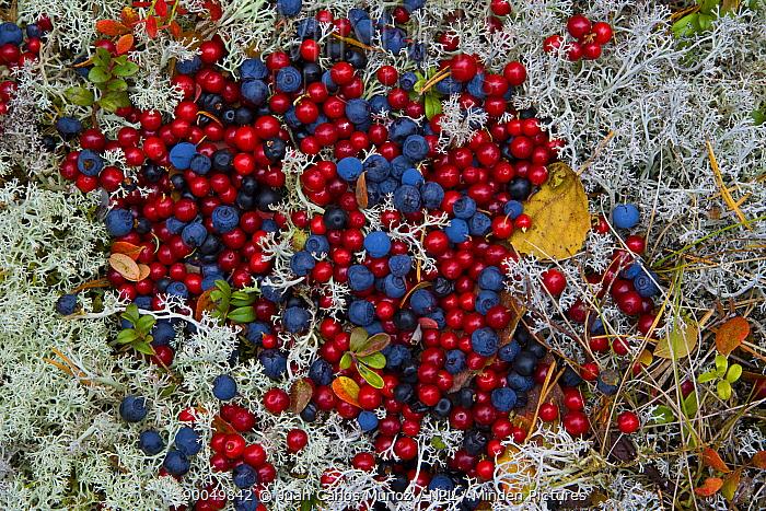 Wild fruit of the taiga, Cowberries (Vaccinium vitisidaea), Crowberries (Emptrum nigrum) and Cranberries (Vaccinium oxycoxxos) Laponia, Lappland, Finland  -  Juan Carlos Munoz/ npl