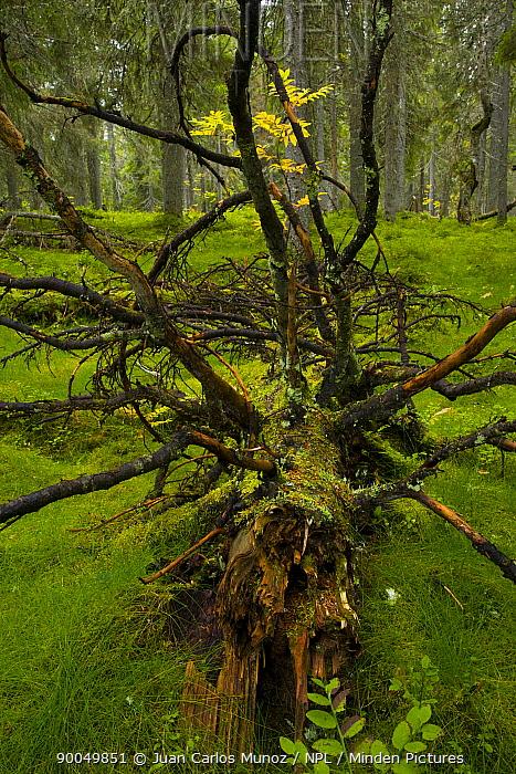 Fallen tree in autumn Taiga woodland, Laponia, Lappland, Finland  -  Juan Carlos Munoz/ npl