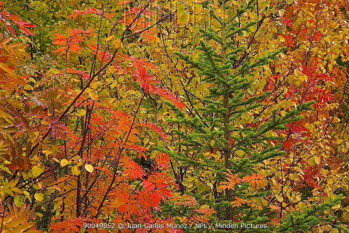 Autumn colours in the trees of Taiga woodland, Laponia, Lappland, Finland  -  Juan Carlos Munoz/ npl