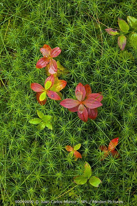 Moss and Blueberry bush leaves on floor of Taiga woodland, Laponia, Lappland, Finland  -  Juan Carlos Munoz/ npl