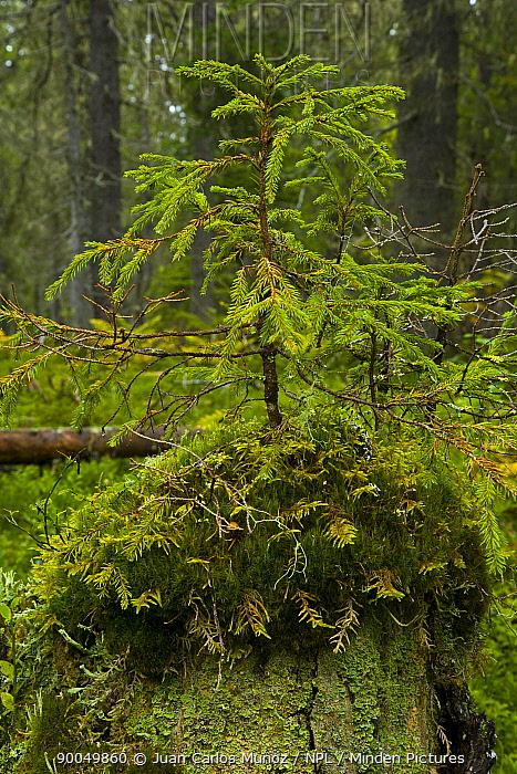 New coniferous tree growing in Taiga woodland, Laponia, Lappland, Finland  -  Juan Carlos Munoz/ npl