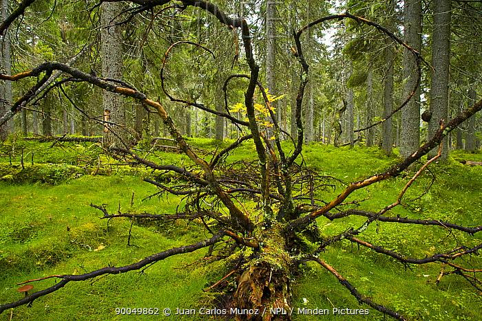 Fallen tree in Taiga woodland, Laponia, Lappland, Finland  -  Juan Carlos Munoz/ npl