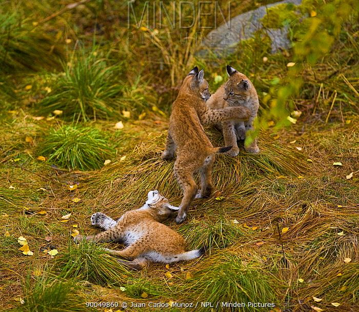 Eurasian Lynx (Lynx lynx) three young cubs playing in taiga woodland, autumn, Laponia, Lappland, Finland  -  Juan Carlos Munoz/ npl