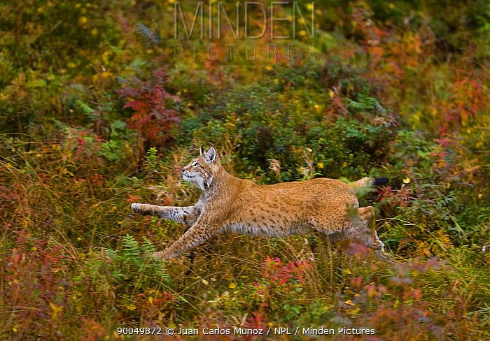 Eurasian Lynx (Lynx lynx) running through taiga open woodland, autumn, Laponia, Lappland, Finland  -  Juan Carlos Munoz/ npl