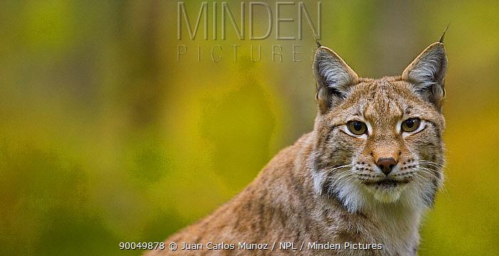 Eurasian Lynx (Lynx lynx) portrait, Laponia, Lappland, Finland  -  Juan Carlos Munoz/ npl