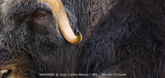 Muskox (Ovibos moschatus) close up of face and horn, Laponia, Lappland, Finland  -  Juan Carlos Munoz/ npl
