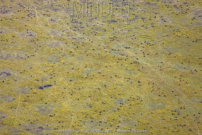 Blue Wildebeest (Connochaetes taurinus) herd Masai Mara game reserve, Kenya  -  Ingo Arndt/ npl