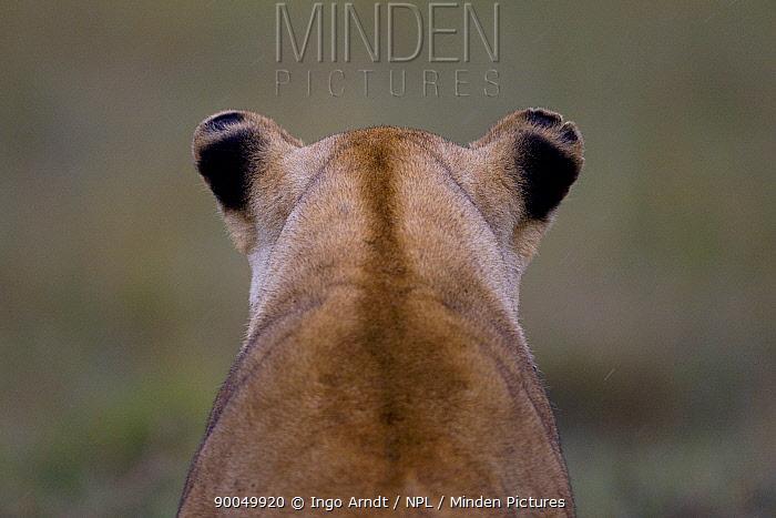 African Lion (Panthera leo) rear view of female watching for prey, Masai Mara National Reserve, Kenya  -  Ingo Arndt/ npl