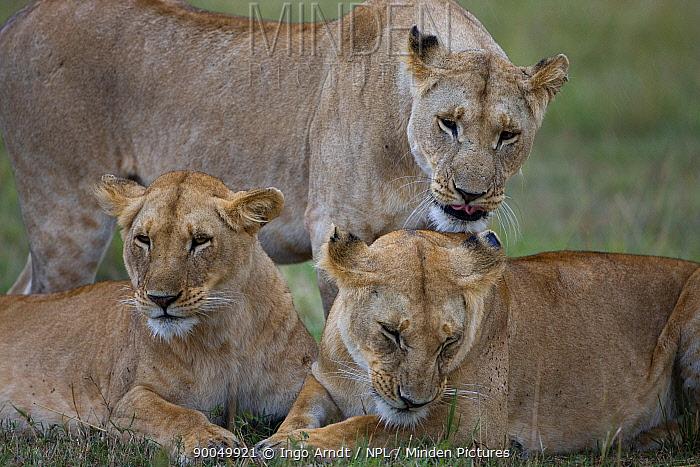 African Lion (Panthera leo) female pride members, Masai Mara National Reserve, Kenya  -  Ingo Arndt/ npl