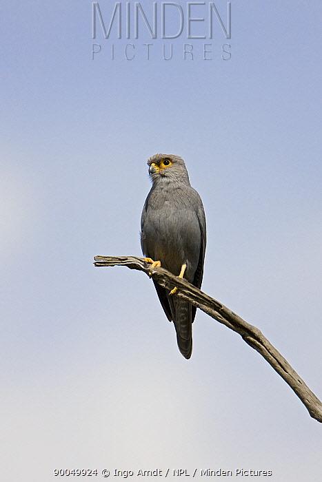 Grey Kestrel (Falco ardosiaceus) perched, Masai Mara National Reserve, Kenya  -  Ingo Arndt/ npl