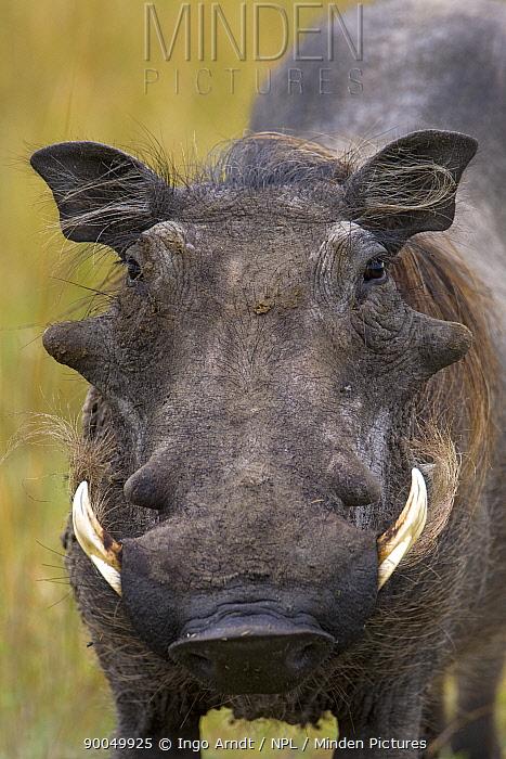 Cape Warthog (Phacochoerus aethiopicus) portrait, Masai Mara National Reserve, Kenya  -  Ingo Arndt/ npl