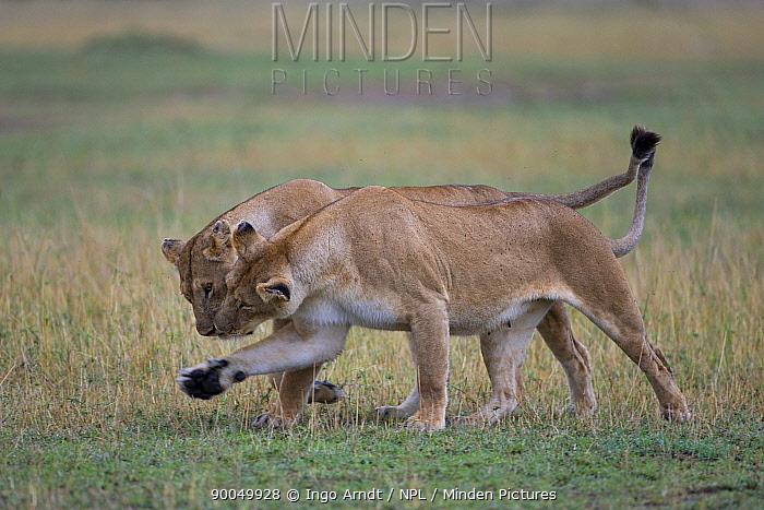 African Lion (Panthera leo) female pride members greeting, Masai Mara National Reserve, Kenya  -  Ingo Arndt/ npl