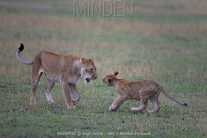 African Lion (Panthera leo) female interacting with juvenile, Masai Mara National Reserve, Kenya  -  Ingo Arndt/ npl
