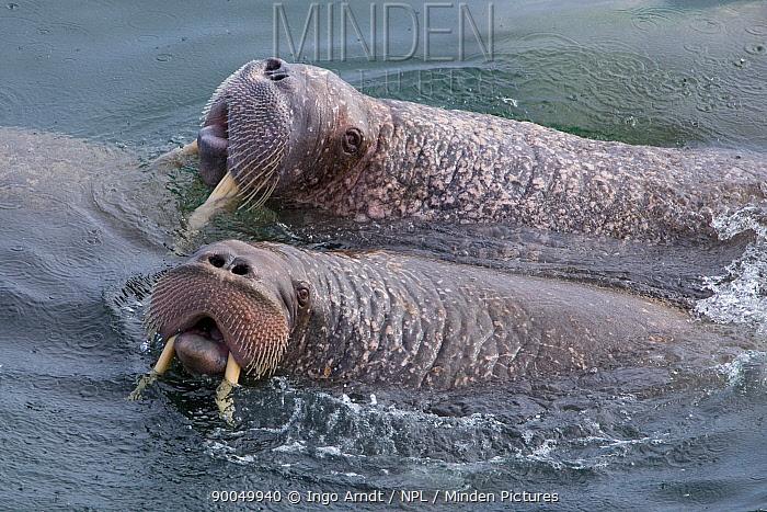 Walrus (Odobenus rosmarus) two bulls in water, Round Island, Bering Sea, Bristol Bay, Alaska  -  Ingo Arndt/ npl