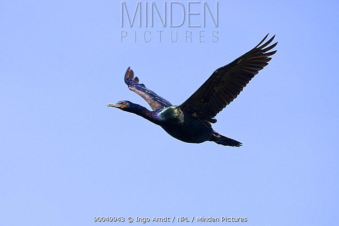 Pelagic Cormorant (Phalacrocorax pelagicus) flying, Bering Sea, Alaska  -  Ingo Arndt/ npl