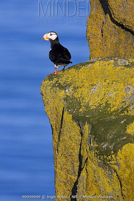 Horned Puffin (Fratercula corniculata) perched on cliff edge, Round Island, Bristol Bay, Bering Sea, Alaska  -  Ingo Arndt/ npl