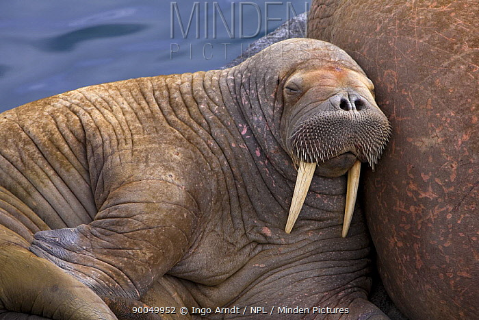 Walrus (Odobenus rosmarus) juvenile bull sleeping, Round Island, Bering Sea, Bristol Bay, Alaska  -  Ingo Arndt/ npl