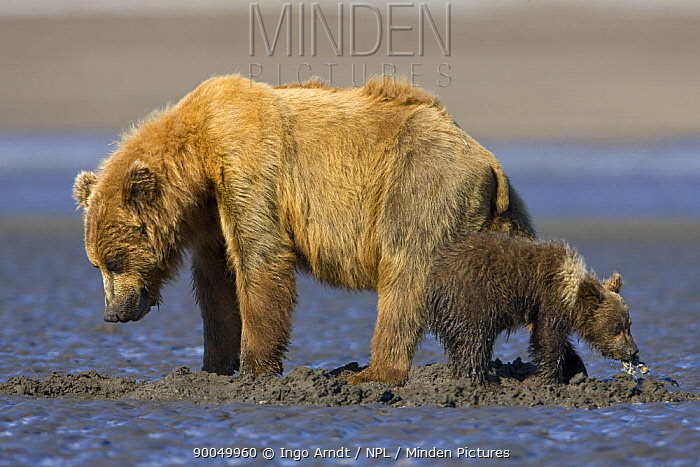 Grizzly Bear (Ursus arctos horribilis) female with cub digging for clams on tidal flats, Alaska  -  Ingo Arndt/ npl