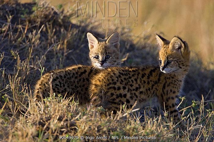 Two Serval (Felis serval) kittens, Masai Mara National Reserve, Kenya, Africa  -  Ingo Arndt/ npl