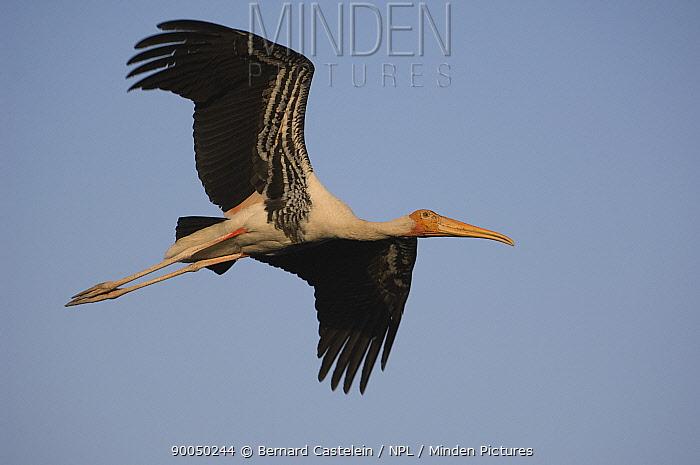Painted Stork (Mycteria leucocephala) flying, Keoladeo Ghana, Bharatpur National Park, Rajasthan, India  -  Bernard Castelein/ npl