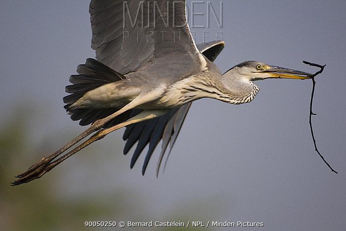 Grey Heron (Ardea cinerea) flying with nesting material in beak, Keoladeo Ghana, Bharatpur National Park, Rajasthan, India  -  Bernard Castelein/ npl