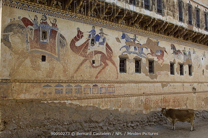 Traditional paintings on wall of Havelis (merchant's house) with cow standing in stree, Ratannagar, Rajasthan, India  -  Bernard Castelein/ npl